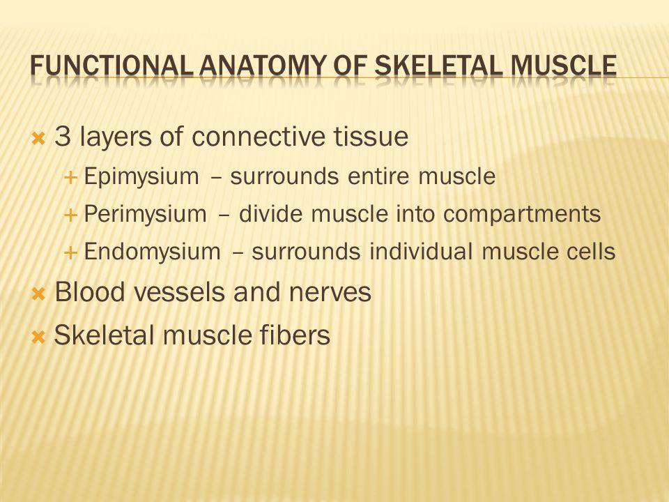 Functional Anatomy of skeletal muscle