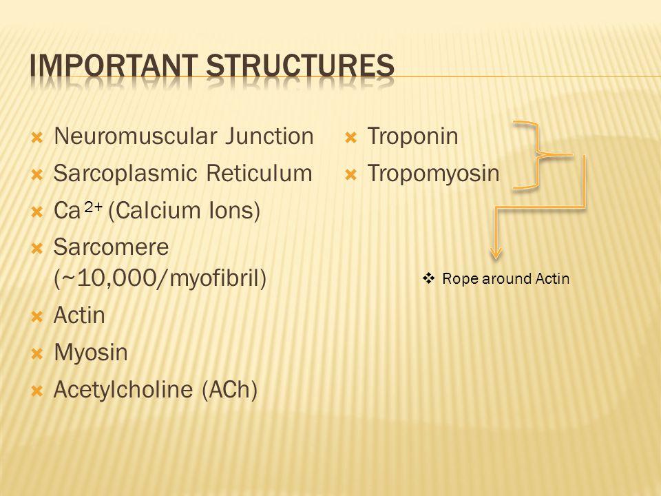 Important structures Neuromuscular Junction Sarcoplasmic Reticulum