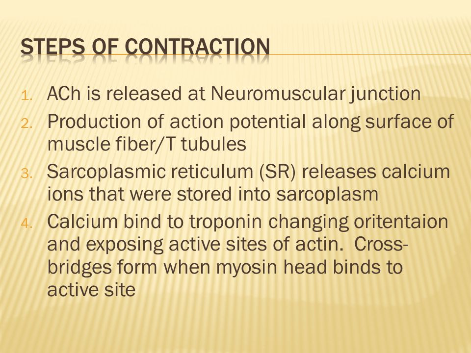 Steps of Contraction ACh is released at Neuromuscular junction