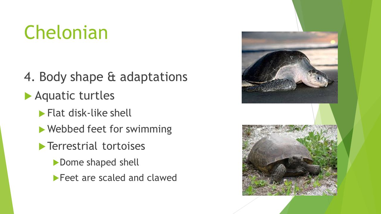 Chelonian 4. Body shape & adaptations Aquatic turtles