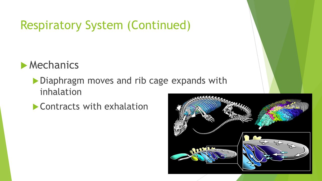 Respiratory System (Continued)