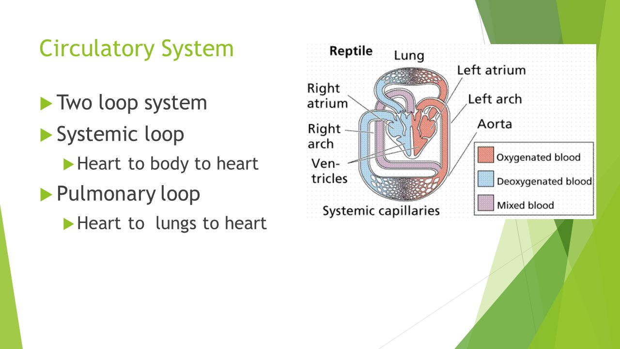 Circulatory System Two loop system Systemic loop Pulmonary loop
