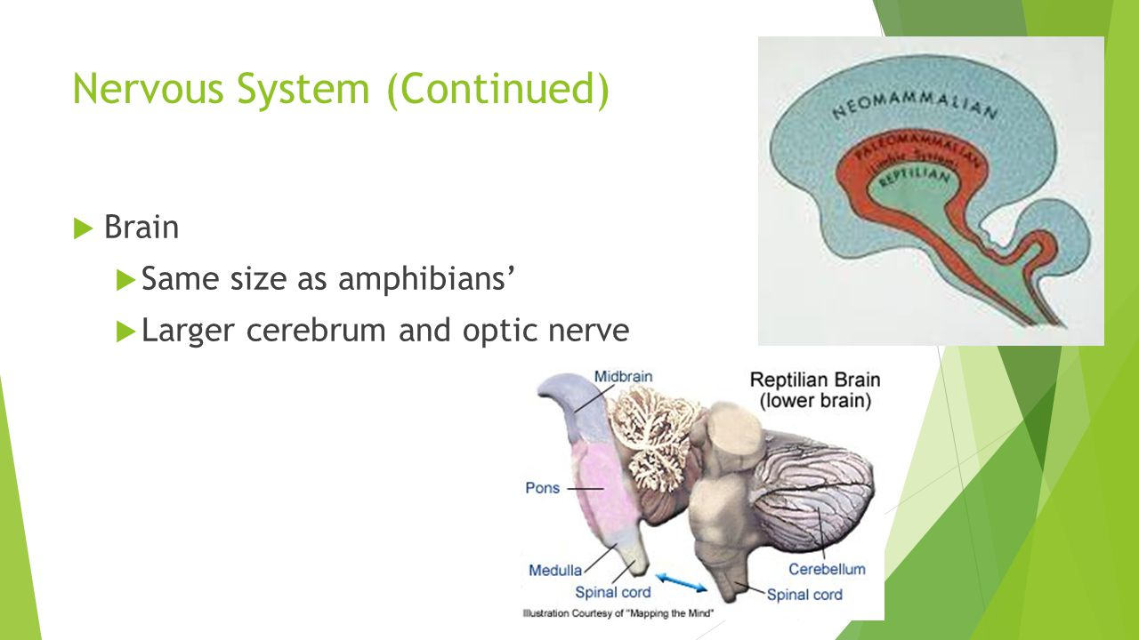 Nervous System (Continued)