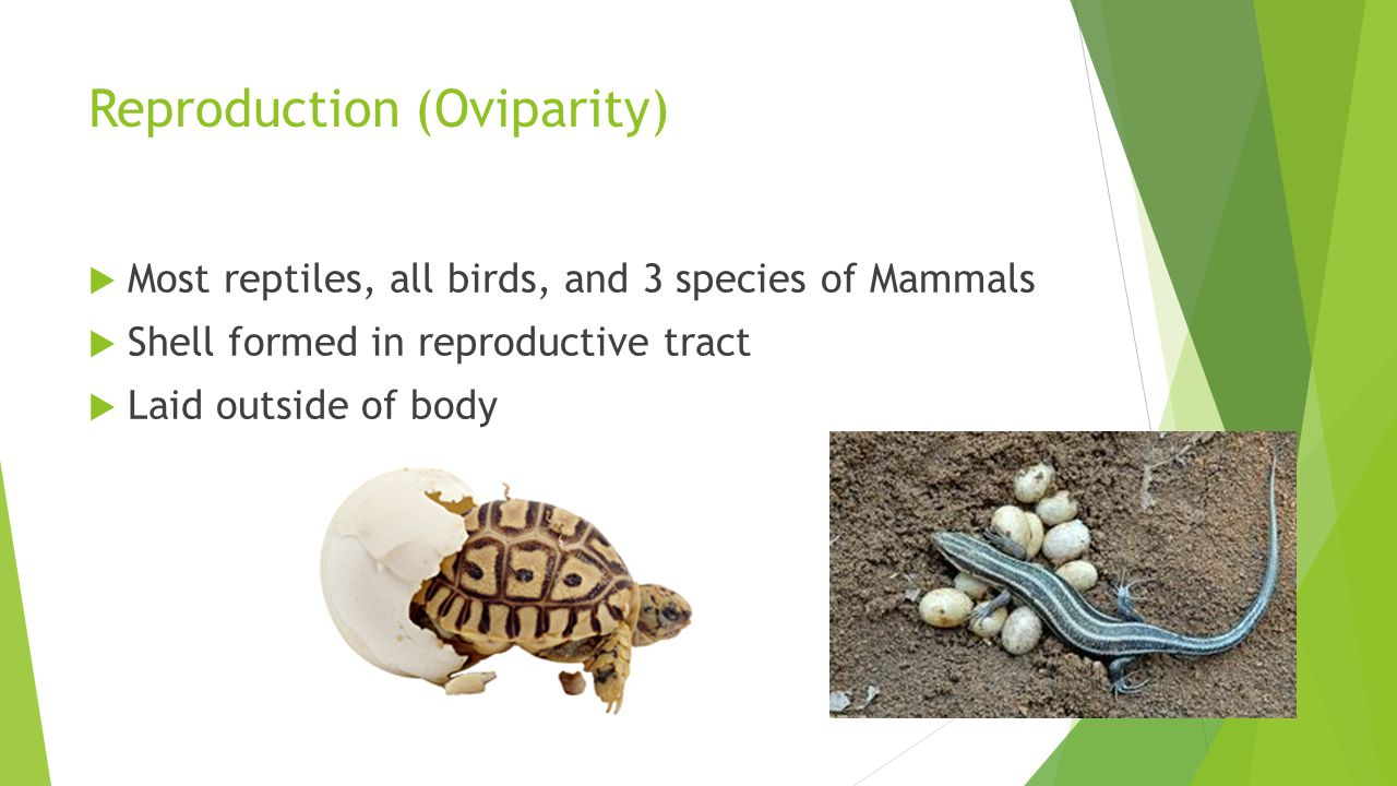 Reproduction (Oviparity)