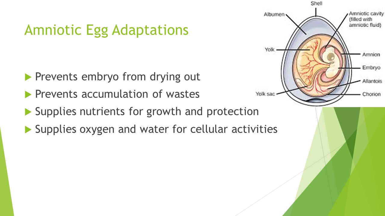 Amniotic Egg Adaptations