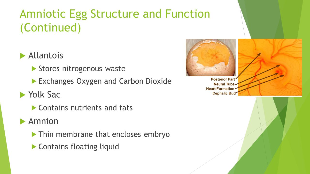 Amniotic Egg Structure and Function (Continued)