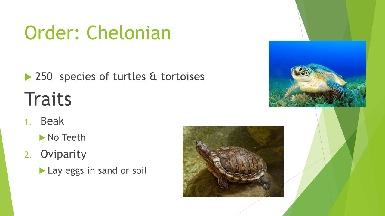 Order: Chelonian Traits 250 species of turtles & tortoises Beak