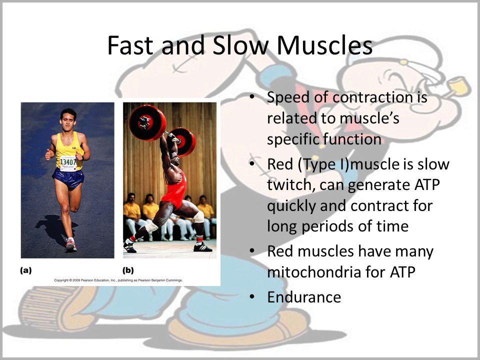 Fast and Slow Muscles Speed of contraction is related to muscle's specific function.