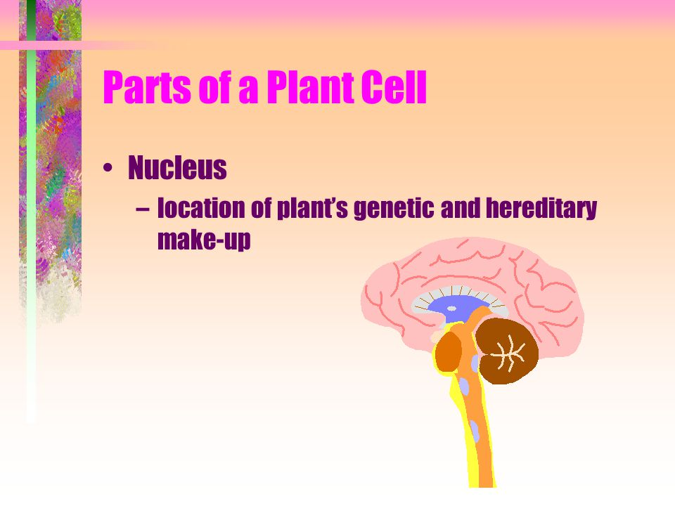 Parts of a Plant Cell Nucleus