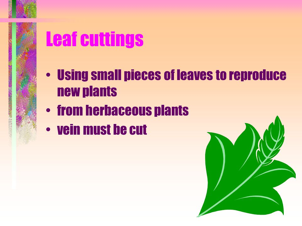 Leaf cuttings Using small pieces of leaves to reproduce new plants