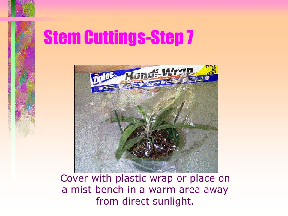 Stem Cuttings-Step 7 Cover with plastic wrap or place on a mist bench in a warm area away from direct sunlight.