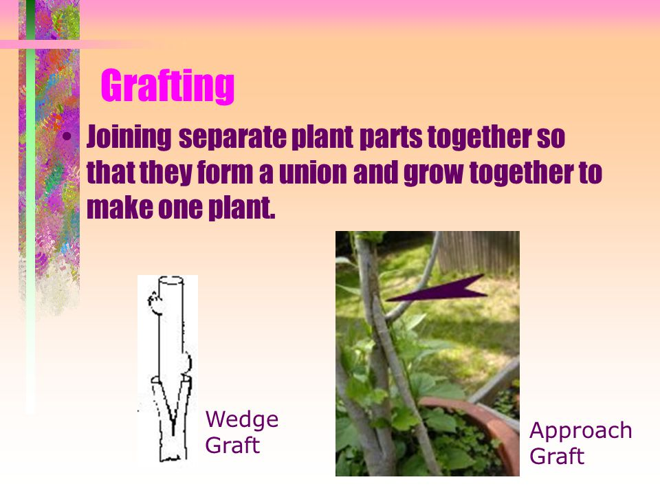 Grafting Joining separate plant parts together so that they form a union and grow together to make one plant.
