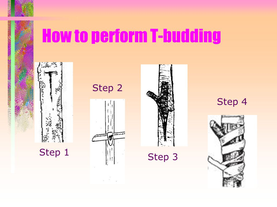 How to perform T-budding