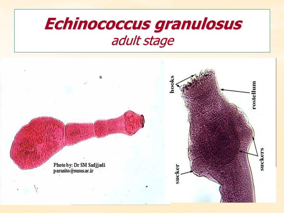 Echinococcus granulosus adult stage