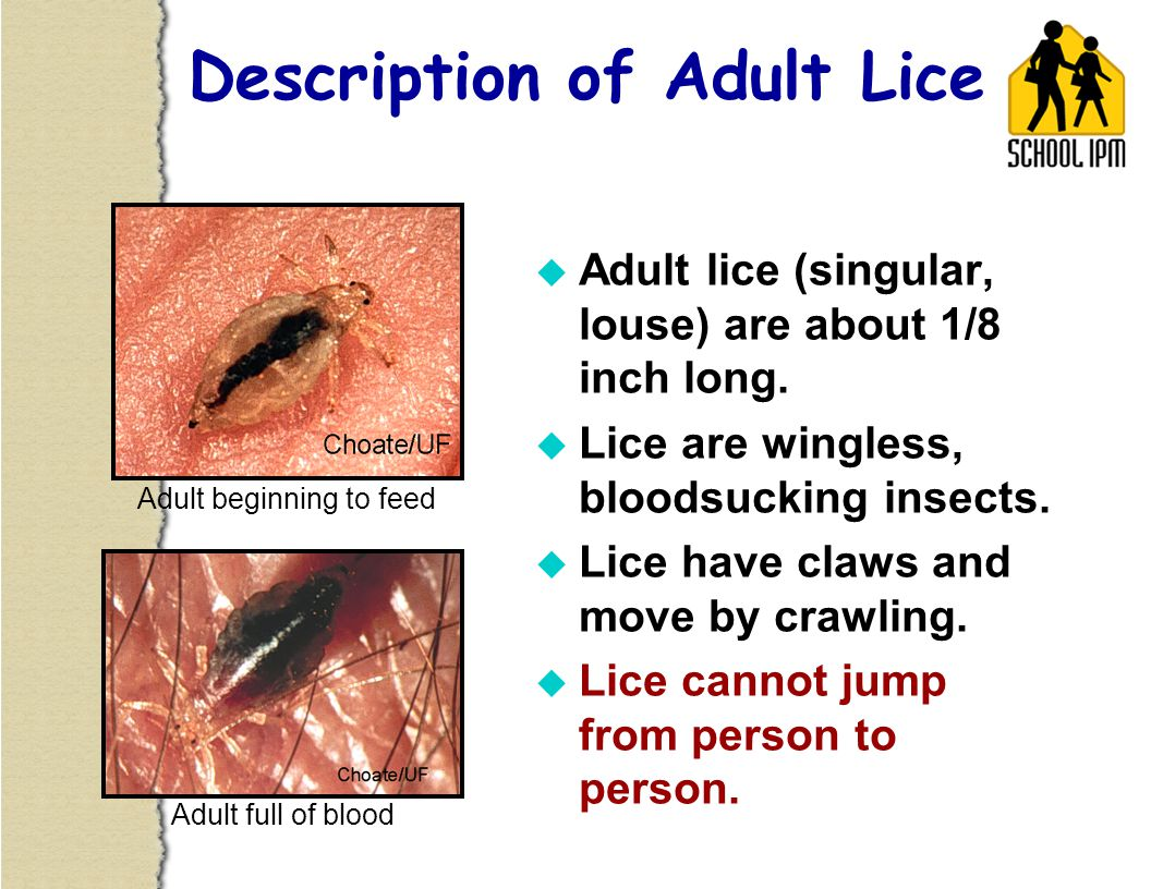 Description of Adult Lice