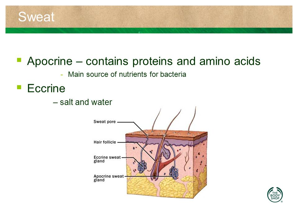 Sweat Apocrine – contains proteins and amino acids Eccrine