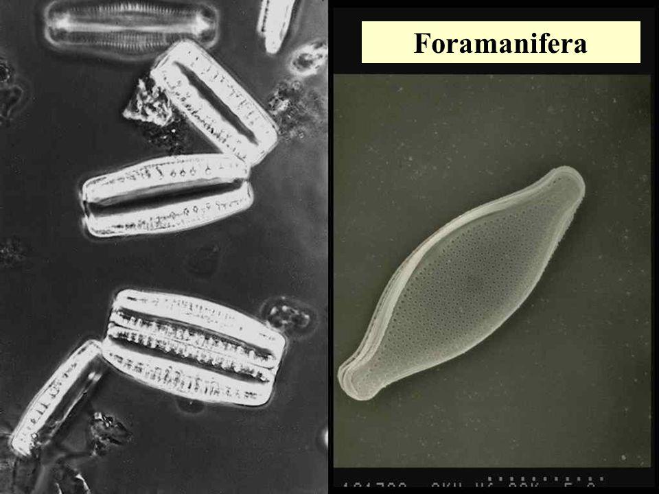 Foramanifera