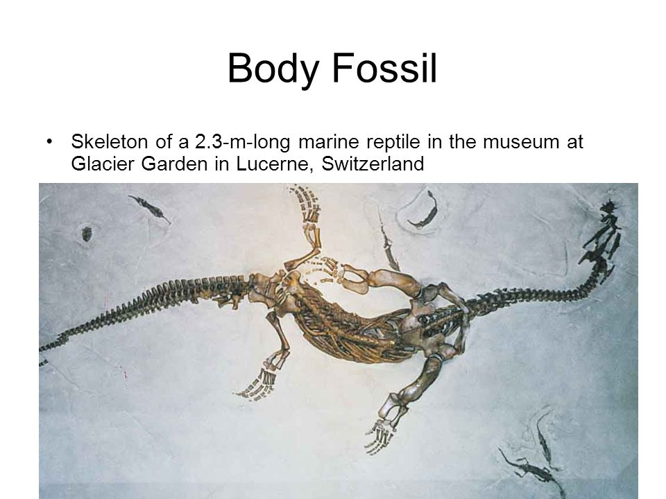 Body Fossil Skeleton of a 2.3-m-long marine reptile in the museum at Glacier Garden in Lucerne, Switzerland.