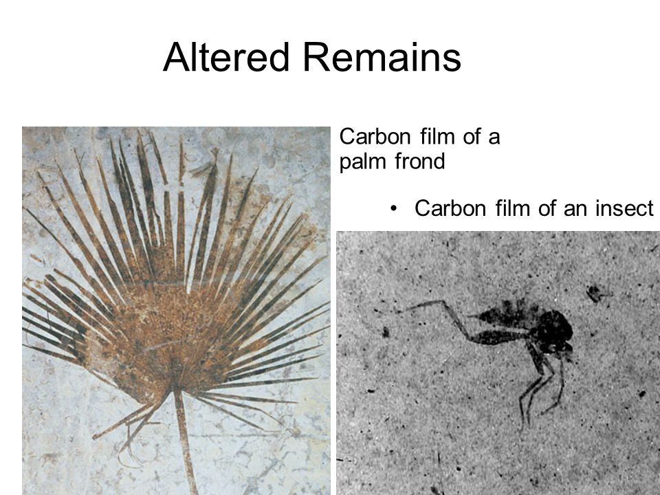 Altered Remains Carbon film of a palm frond Carbon film of an insect