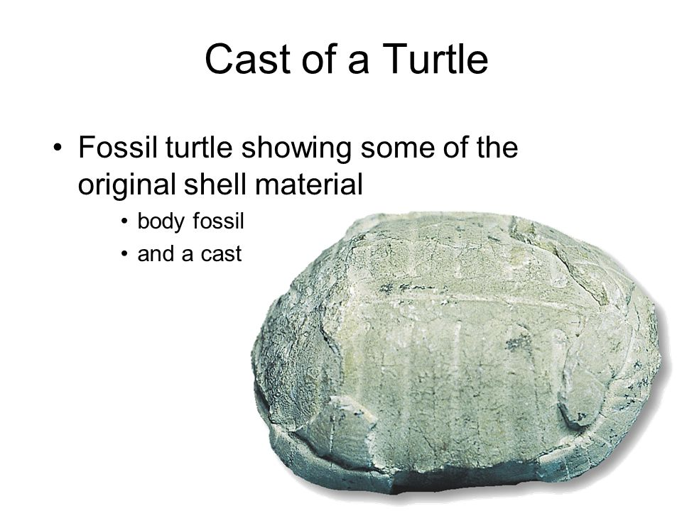 Cast of a Turtle Fossil turtle showing some of the original shell material body fossil and a cast