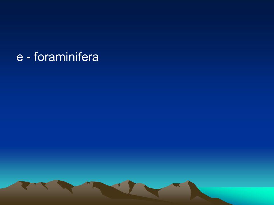 e - foraminifera