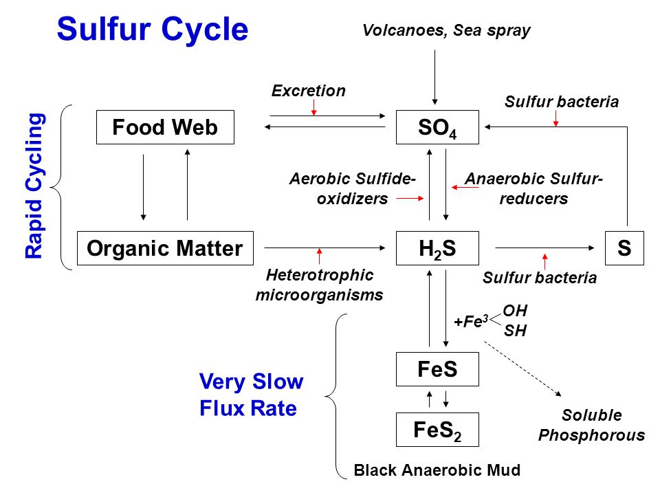 Sulfur Cycle Food Web Organic Matter H2S SO4 S FeS FeS2