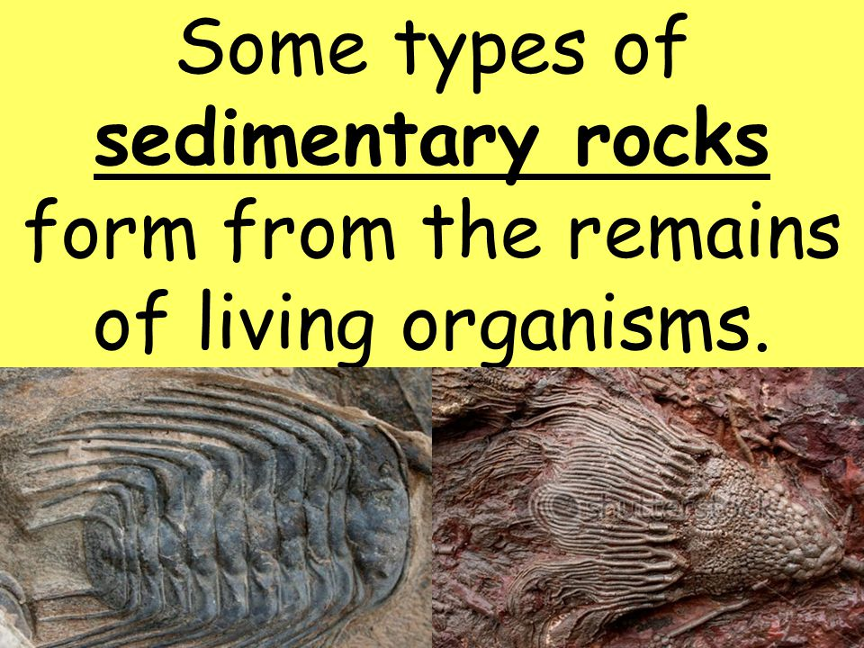 Some types of sedimentary rocks form from the remains of living organisms.