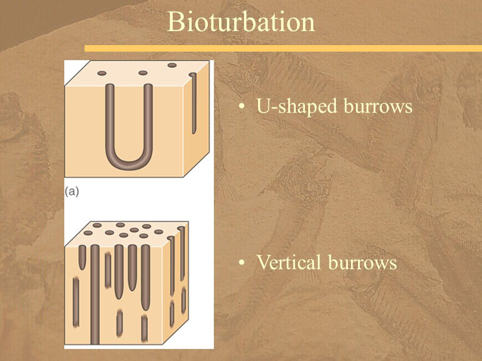 Bioturbation U-shaped burrows Vertical burrows