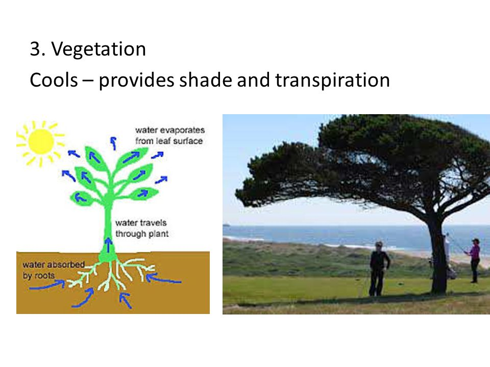3. Vegetation Cools – provides shade and transpiration