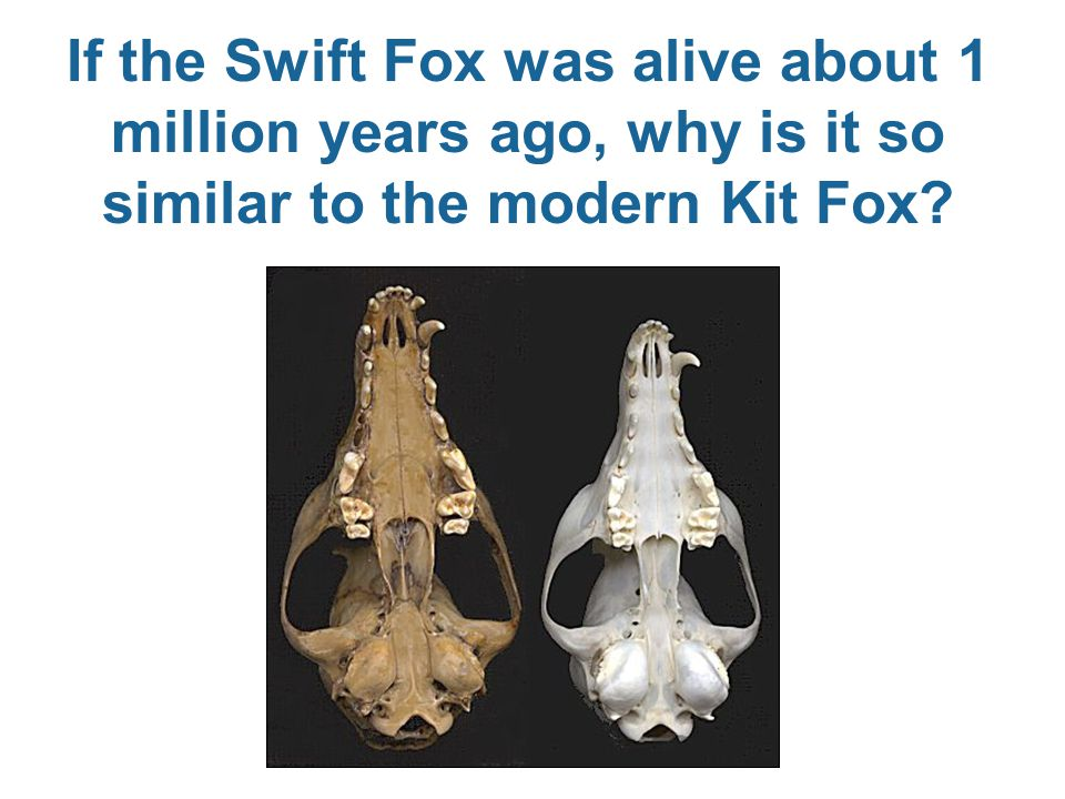 If the Swift Fox was alive about 1 million years ago, why is it so similar to the modern Kit Fox