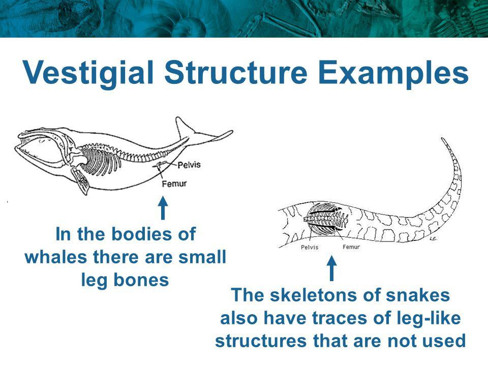 Vestigial Structure Examples