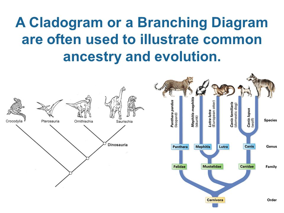 A Cladogram or a Branching Diagram are often used to illustrate common ancestry and evolution.
