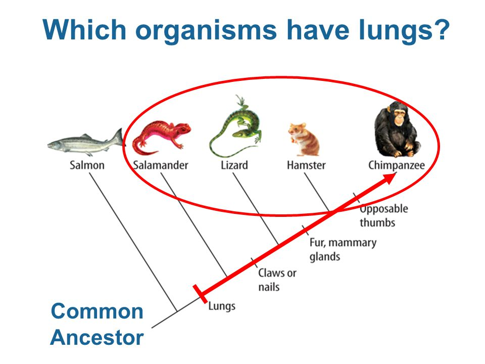 Which organisms have lungs