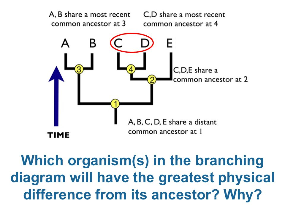 Which organism(s) in the branching diagram will have the greatest physical difference from its ancestor.