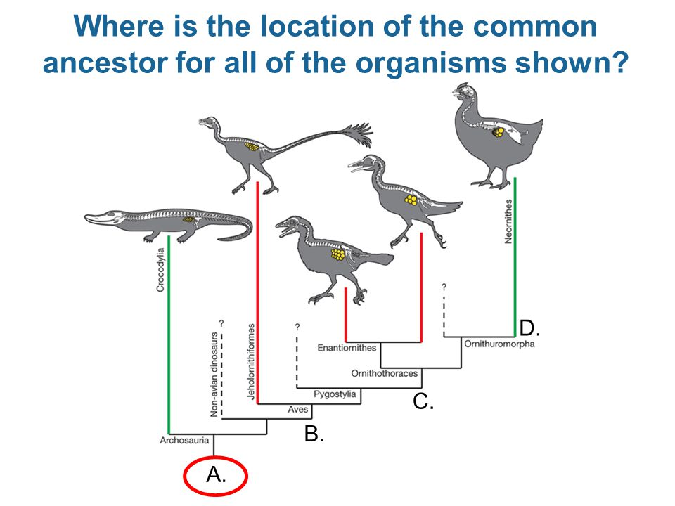 Where is the location of the common ancestor for all of the organisms shown