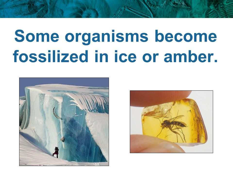 Some organisms become fossilized in ice or amber.