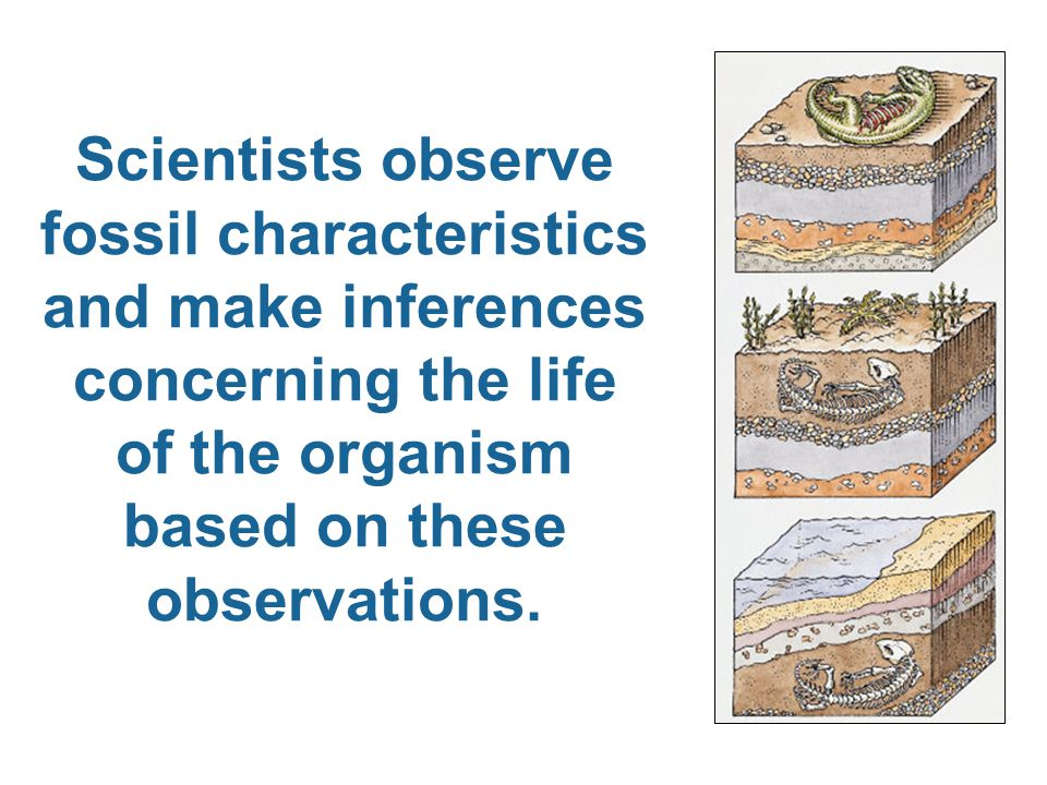 Scientists observe fossil characteristics and make inferences concerning the life of the organism based on these observations.