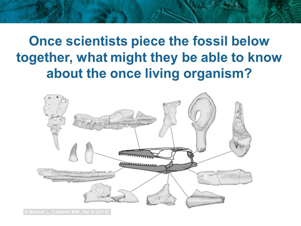 Once scientists piece the fossil below together, what might they be able to know about the once living organism