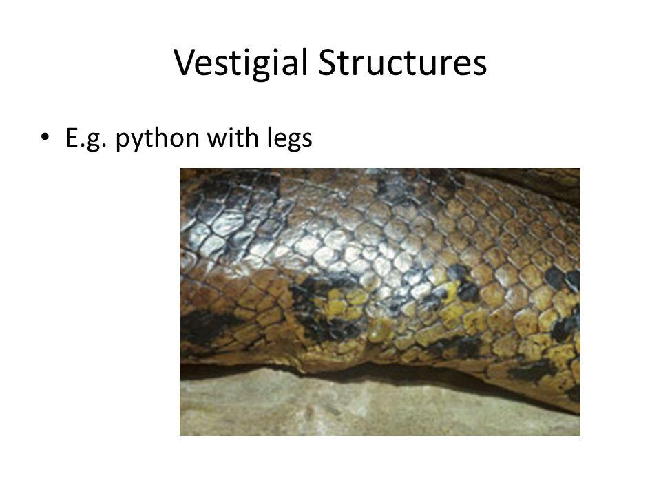 Vestigial Structures E.g. python with legs