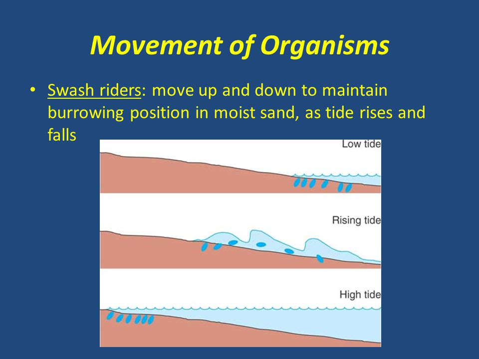 Movement of Organisms Swash riders: move up and down to maintain burrowing position in moist sand, as tide rises and falls.