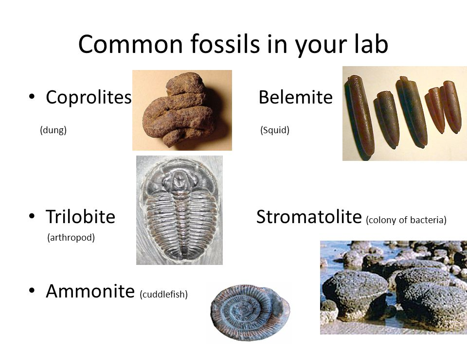 Common fossils in your lab