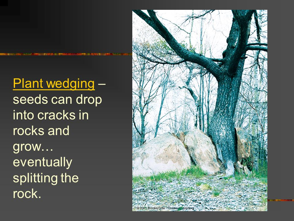 Plant wedging – seeds can drop into cracks in rocks and grow… eventually splitting the rock.