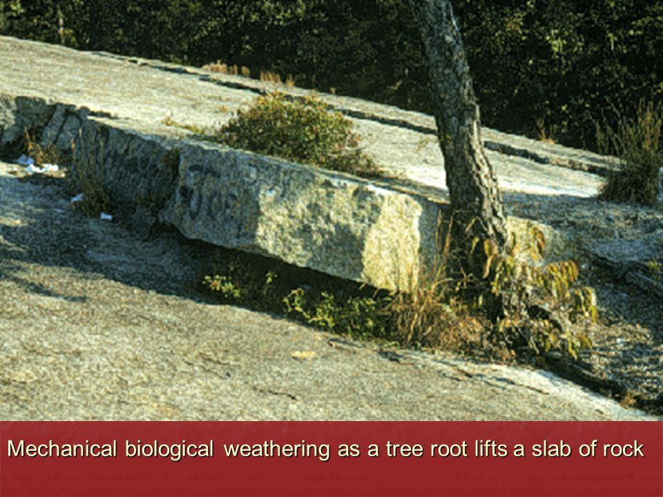 Mechanical biological weathering as a tree root lifts a slab of rock