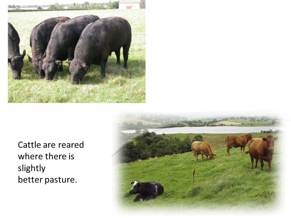 Cattle are reared where there is slightly better pasture.