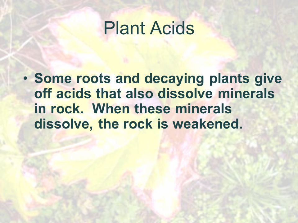 Plant Acids Some roots and decaying plants give off acids that also dissolve minerals in rock.