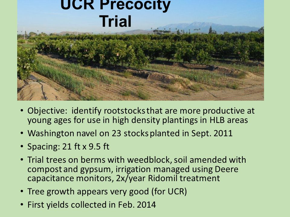 UCR Precocity Trial Objective: identify rootstocks that are more productive at young ages for use in high density plantings in HLB areas.