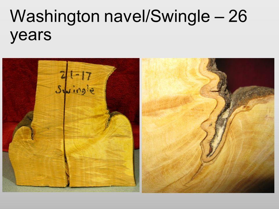 Washington navel/Swingle – 26 years
