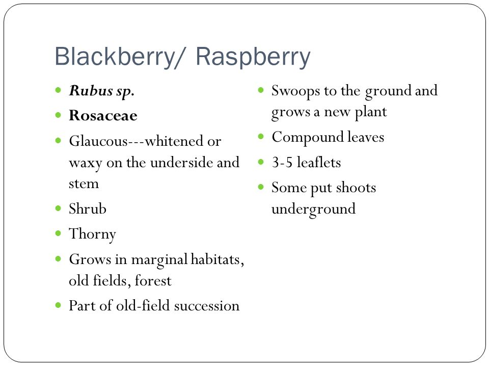 Blackberry/ Raspberry