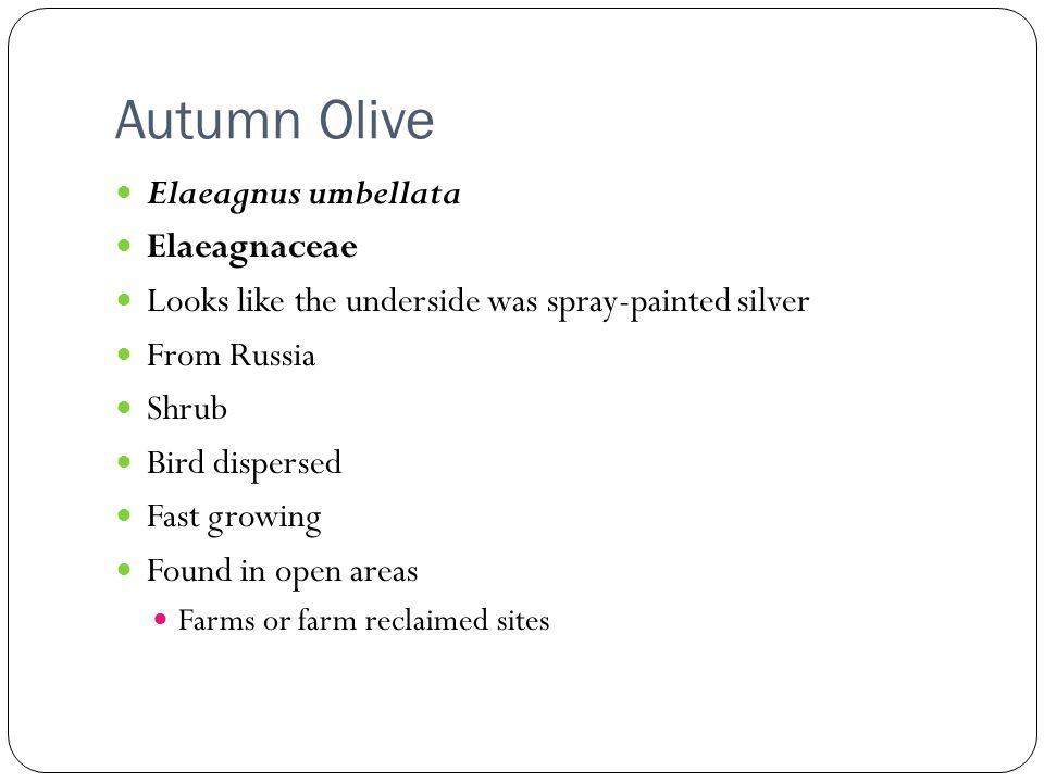 Autumn Olive Elaeagnus umbellata Elaeagnaceae