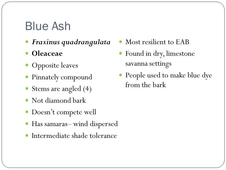 Blue Ash Fraxinus quadrangulata Most resilient to EAB Oleaceae